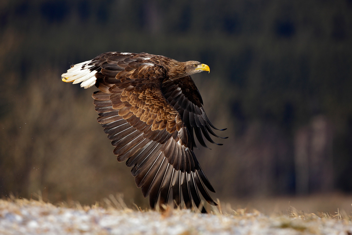 White-tailed Eagle, Day 2 - 3
