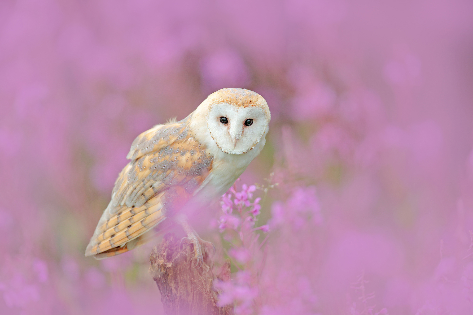 Barn Owl in the pink of life,