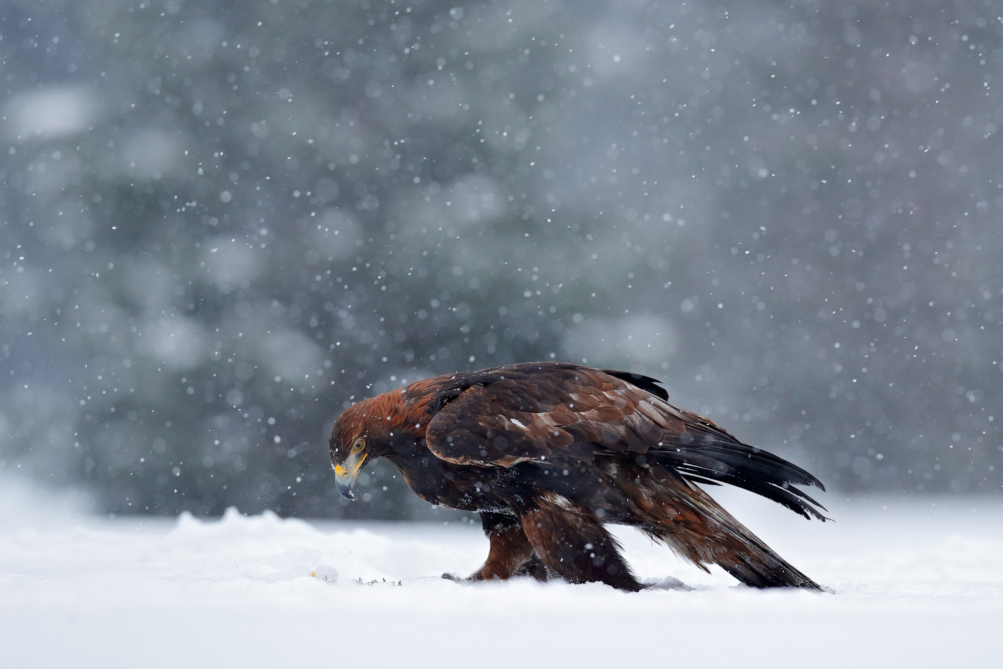 Snowy Golden Eagle,