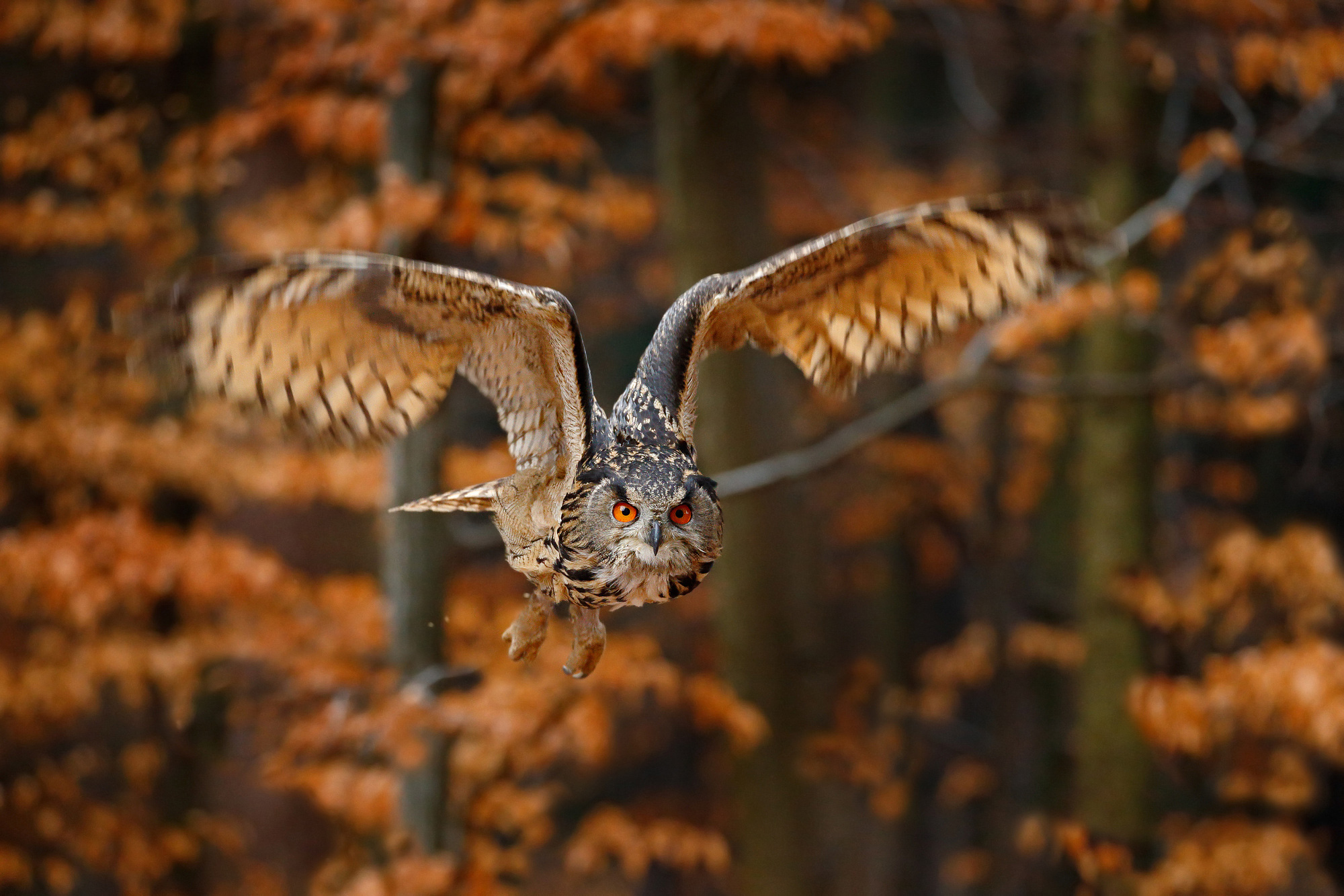 The silent flight of Eagle Owl,